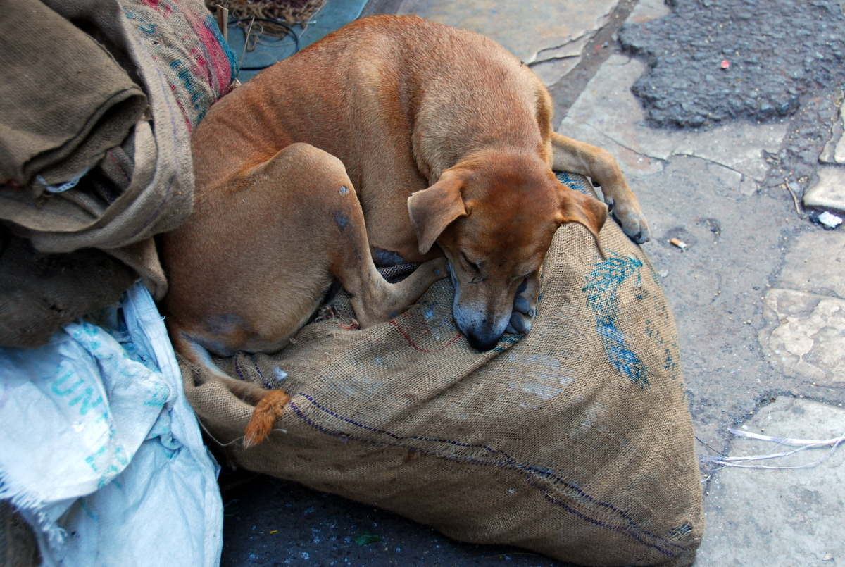 How to Avoid Culture shock - Stray Animals in India