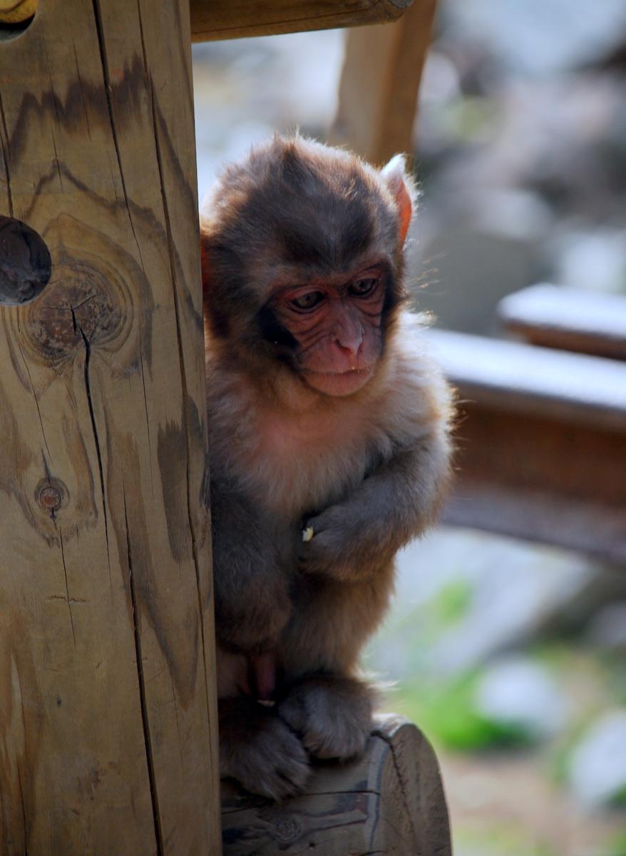 Snow Monkey Park, Yudanaka