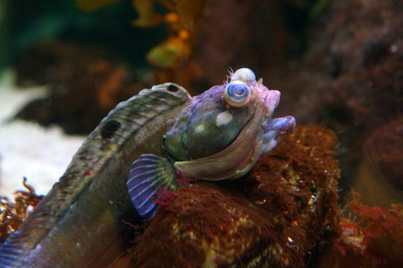 Sarcastic Fringehead at the Cabrillo Marine Aquarium, San Pedro