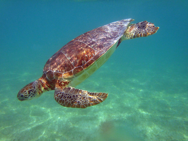 Swimming with Sea Turtles at Akumal Beach is a great Riviera Maya Thing to do