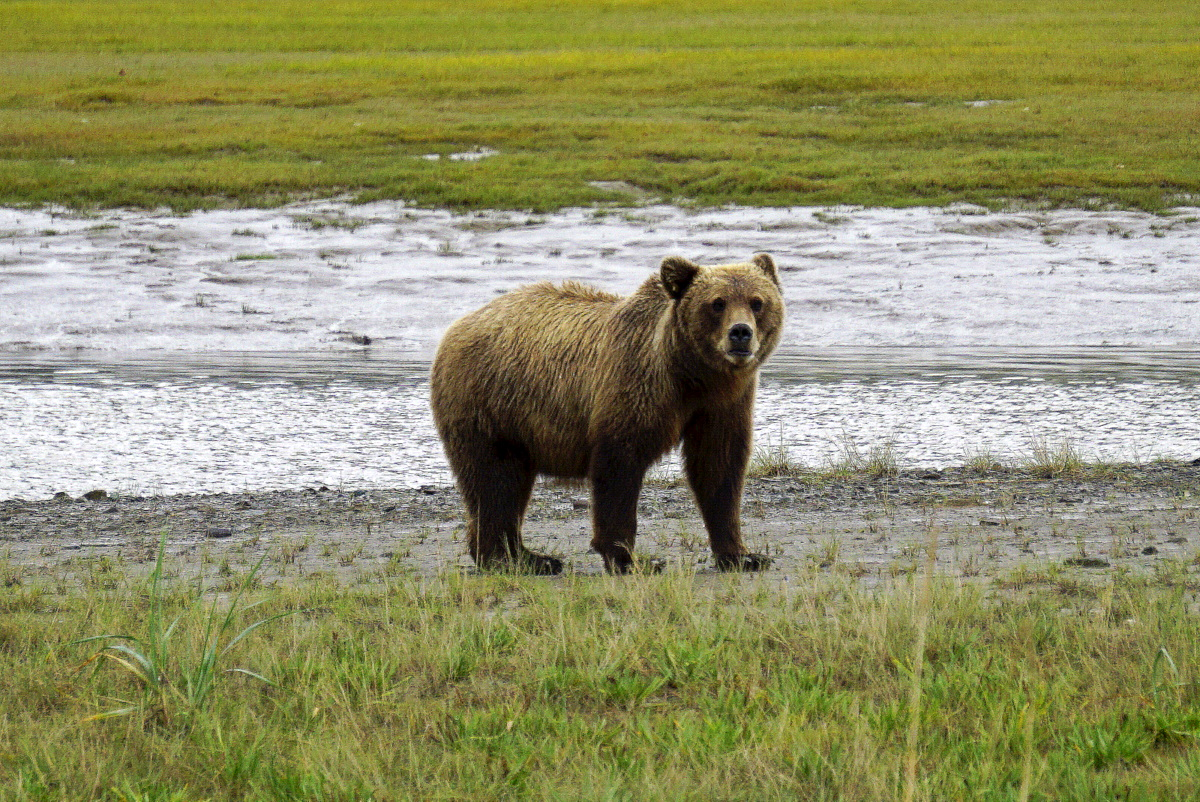 Bear Viewing In Alaska With Regal Air