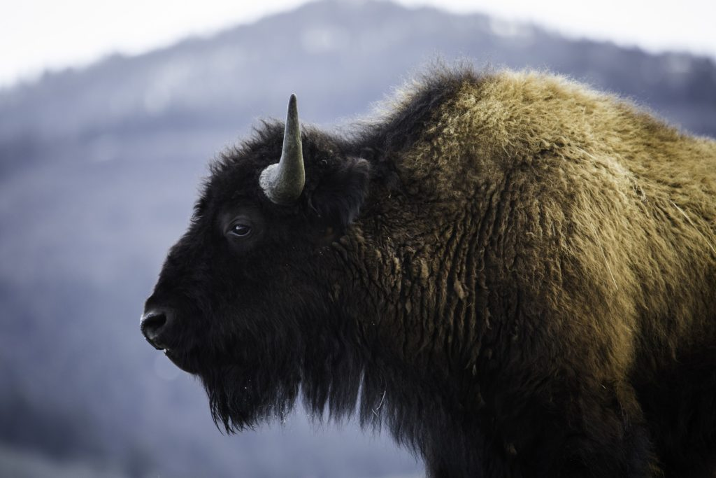 Do not get too close to the animals when planning a trip to Yellowstone