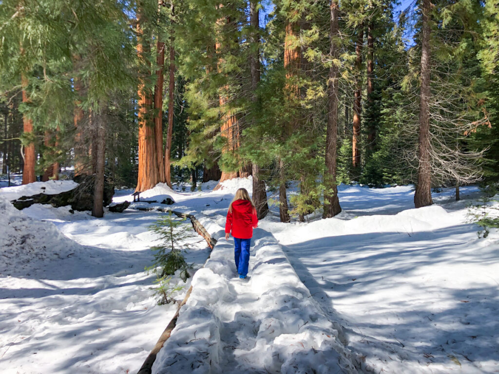 The Big Trees Trail in Sequoia National Park in winter