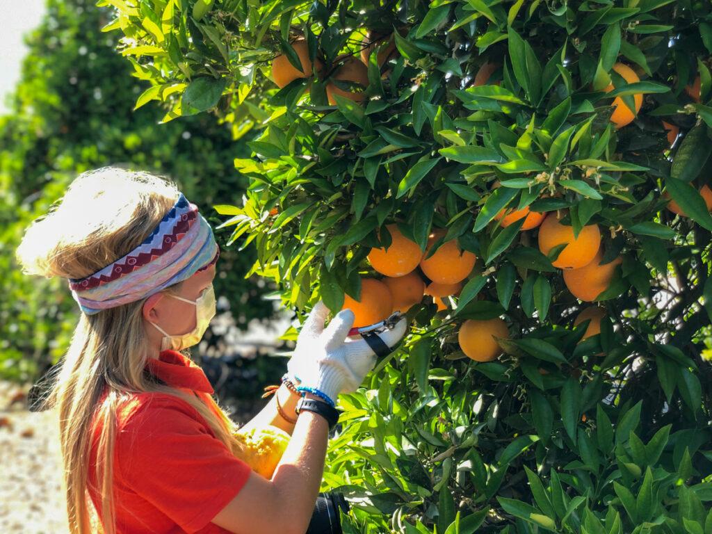 picking oranges at Farmer Bob's World in Visalia CA